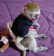 Прекрасный женский ребенка капуцин обезьян для повторного самонаведени