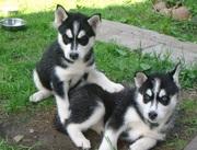 Красивые щенки хаски сибирский с голубыми глазами (РКФ)