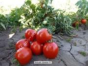 Семена грунтового томата АСВОН F1